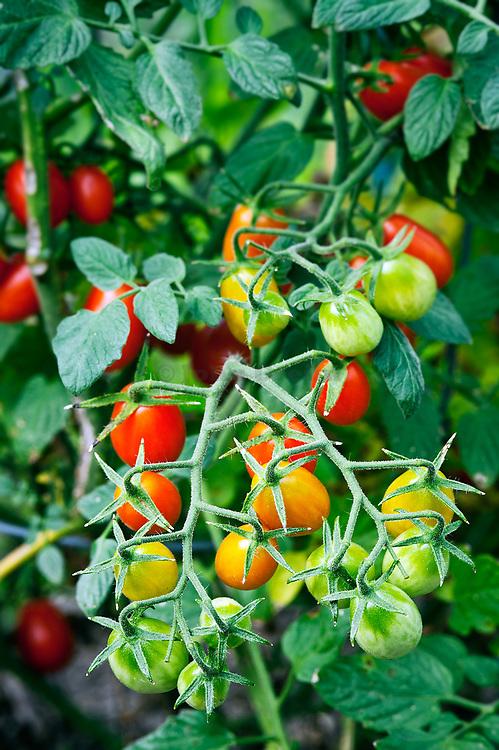 Cherry tomato plant.
