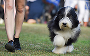 Bearded Collie, or Beardie, is a herding breed of dog once used primarily by Scottish shepherds, but now mostly a popular family companion. being presented in a dog show