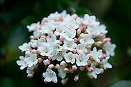 Vivurnum burkwoodii growing in April in London, UK