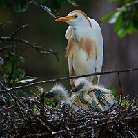 Adult and nestling cattle egrets (Bubulcus ibis) at the nest, St. Augustine Alligator Farm Rookery, Anastasia Island, St. Augustine, Florida.