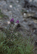 Fireweed, Tundra, Pond, Water, Wildflowers, Purple flower, Denali National Park, Alaska