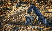 Hawk in play and on hunt with prey