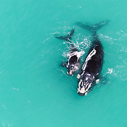 Southern right whale female with calf (Eubalaena australis) in shallow coastal water