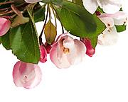 Crabapple flowers