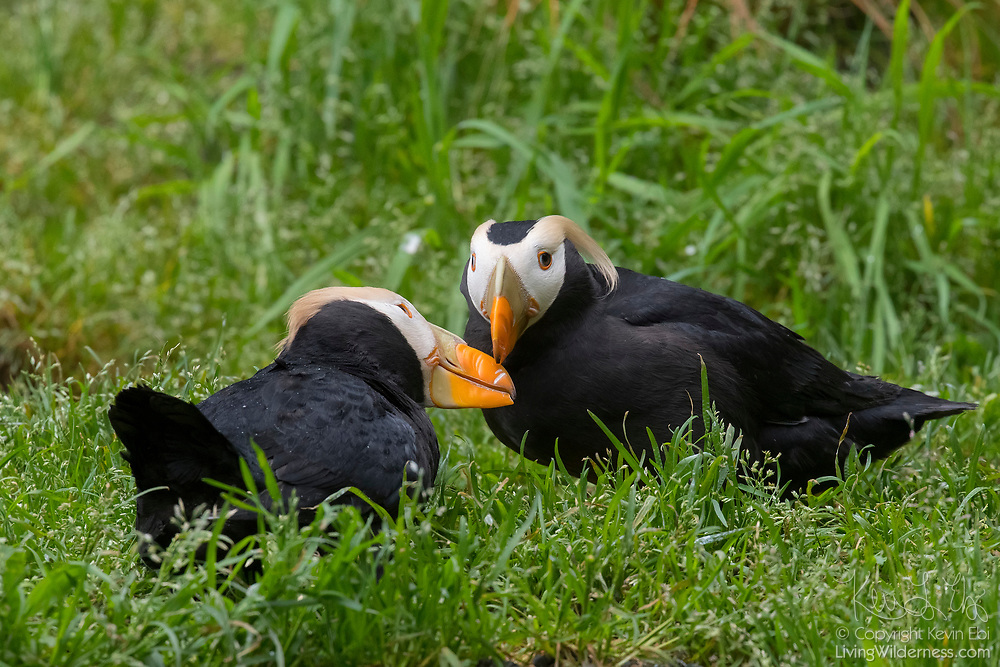 Two tufted puffins (Fratercula cirrhata) rub their bills together, a behavior known as billing, near their burrow. Puffins mate for life and billing is believed to be a practice that solidifies their relationship. Tufted puffins are found throughout the North Pacific Ocean.