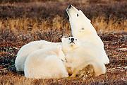 CANADA, Churchill (Hudson Bay).Polar bear (Ursus maritimus) sow with cubs