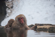 Japanese Macaques bathing in a onsen, or hot spring, with a baby cleaning a fully-grown male.