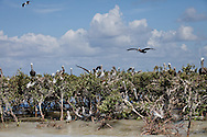 June 12, 2012, Brown pelican, the Louisiana state bird recently taken off the endangered species list, on Cat Island, a barrier island in Barrataria Bay in Plaquimens Parish, Louisiana. The barrier islands in the Gulf of Mexico are threaten by coastal erosion that was sped up since the BP oil spill which killed off much of the grass and mangrove trees that hold the islands together. Plaquimens Parish started it's own coastal restoration project for Cat Island, a bird rookery for the pelican ahead of the  Restore the Coast Act for fear there would be too little of the island left to save.
