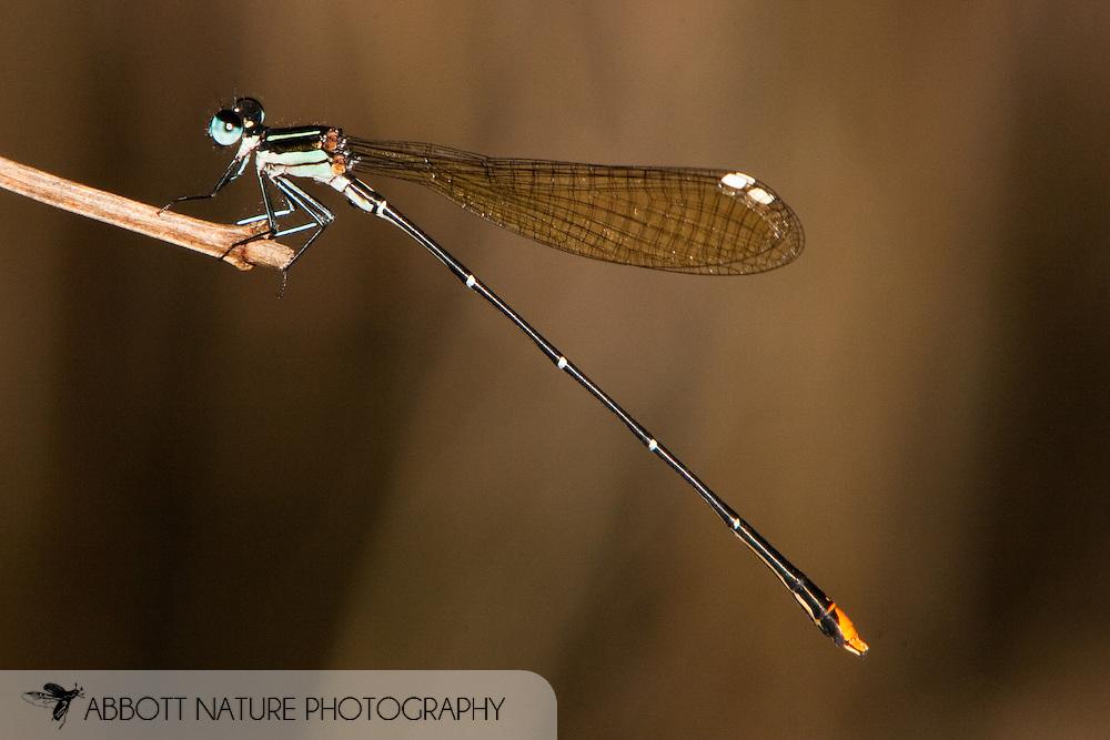 Allocnemis leucosticta (Goldtail) - male<br /> SOUTH AFRICA: Mpumalanga Province<br /> River @ Kadishi Trail in Adventura Lodge; Blyde Canyon Area<br /> 16.Jan.2006<br /> S24 34.4486 E030 47.0524<br /> J.C. Abbott #2224