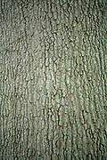 college green, Mapp Athens, summer, Tree Tour, Willow Oak