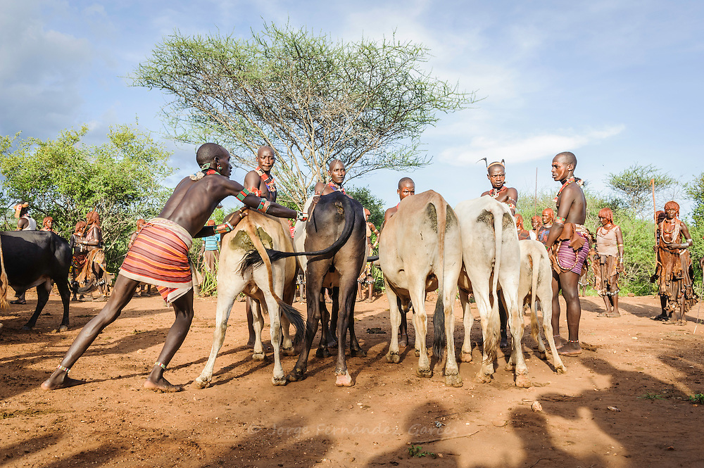 Gathering the cattle for a bull jumping ceremony. A rite of passage from boys to men. Hamer tribe, Omo valley, Ethiopia