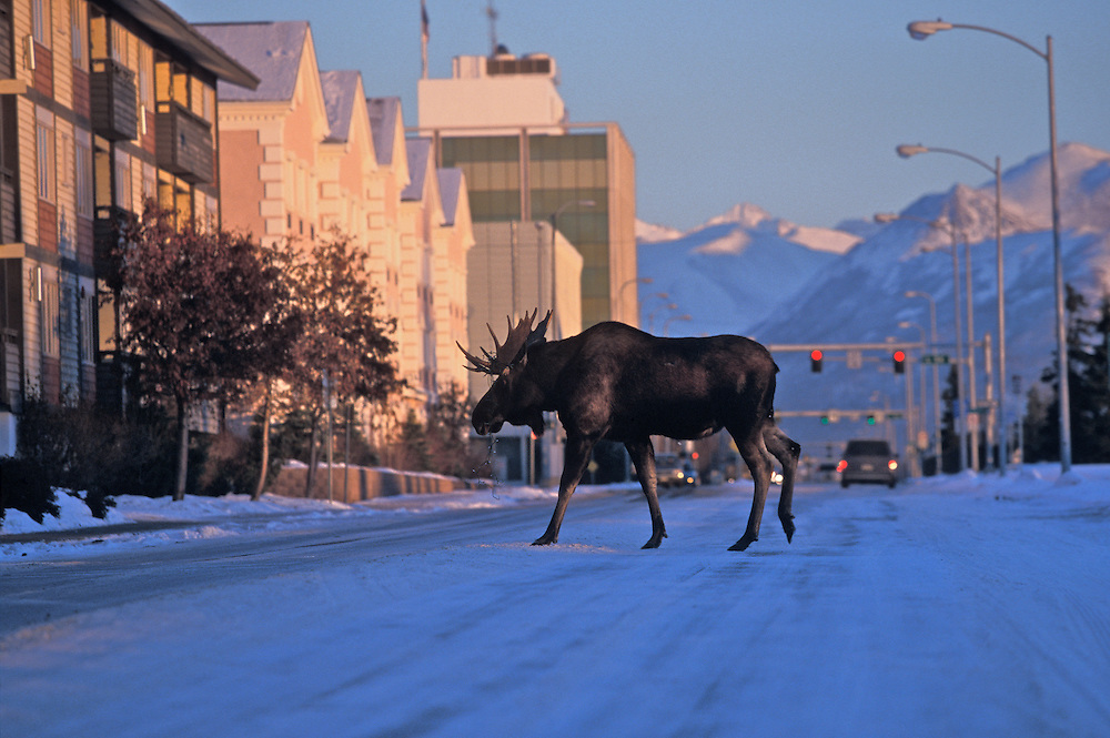 Moose sightings within Anchorage basin are always a treat and, luckily, a regular occurence. While generally docile, keep your distance as these giant ungulates like their space.