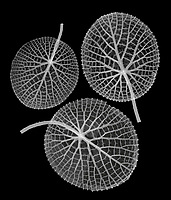 X-ray image of Amazon waterlily leaves (Victoria amazonica, white on black) by Jim Wehtje, specialist in x-ray art and design images.