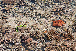 A red cushion star (Culchita schmideliana) on Montgomery Reef on the Kimberley coast.