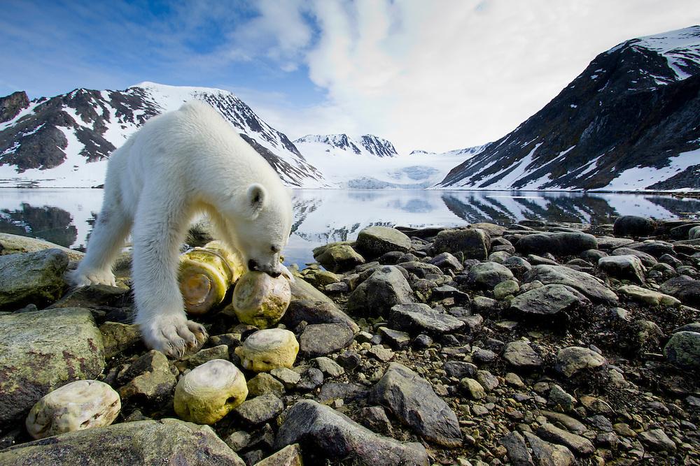 Norway, Svalbard, Spitsbergen Island, Remote camera view of Polar Bear (Ursus maritimus) chewing on vertebrae of dead Fin Whale