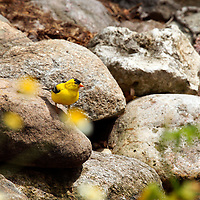A male goldfinch perched on a rock looking off into the distance.