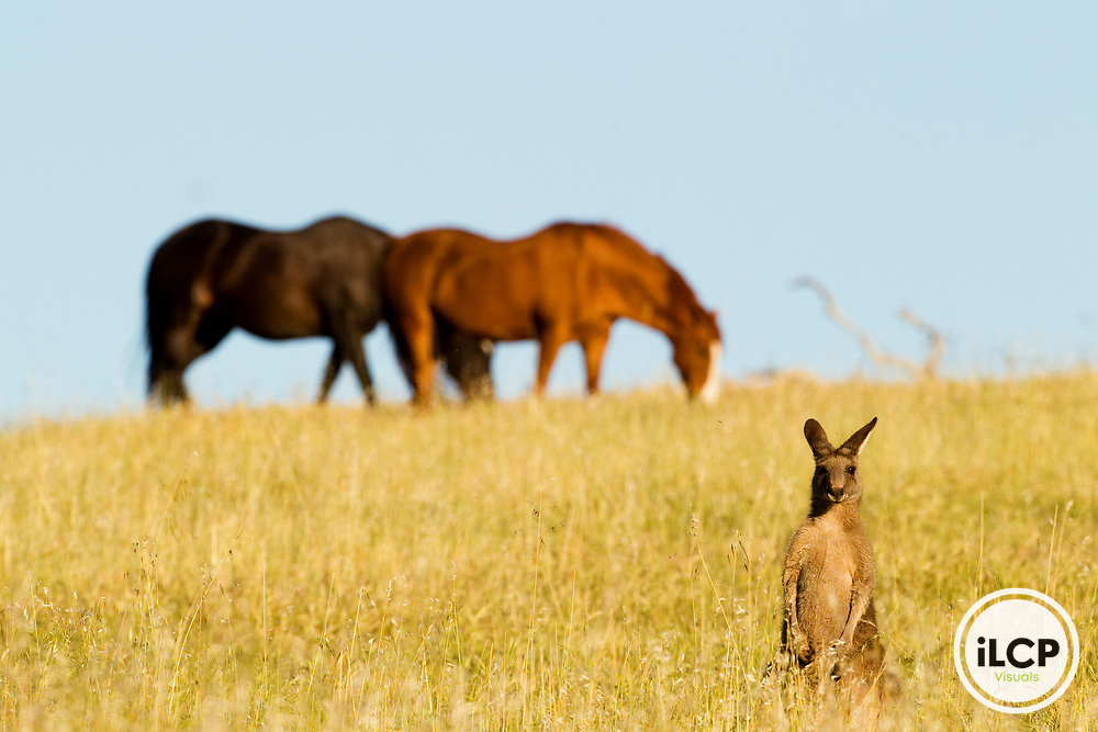 Eastern Grey Kangaroo (Macropus giganteus) female in grassland with Domestic Horses (Equus caballus) grazing in the background, Mount Taylor Nature Reserve, Canberra, Australian Capital Territory, Australia