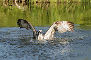 Osprey lifts wings out of water for first powerful stroke to fly up from pond after capturing a fish, © 2015 David A. Ponton