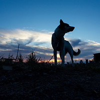 Canada, Manitoba, Churchill, Silhouette of sled dog at sunset along Hudson Bay