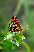 Side view of butterfly with beautiful cream, black and rust colored wing pattern on leaf- more backround.