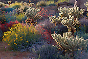 Brittlebush, Jumping Cholla, and Chuparosa in Plum Canyon, Anza-Borrego Desert State Park, California USA