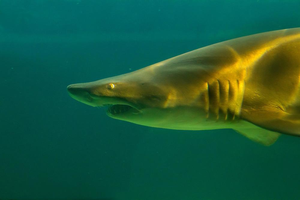 Shark, Coney Island Aquarium.