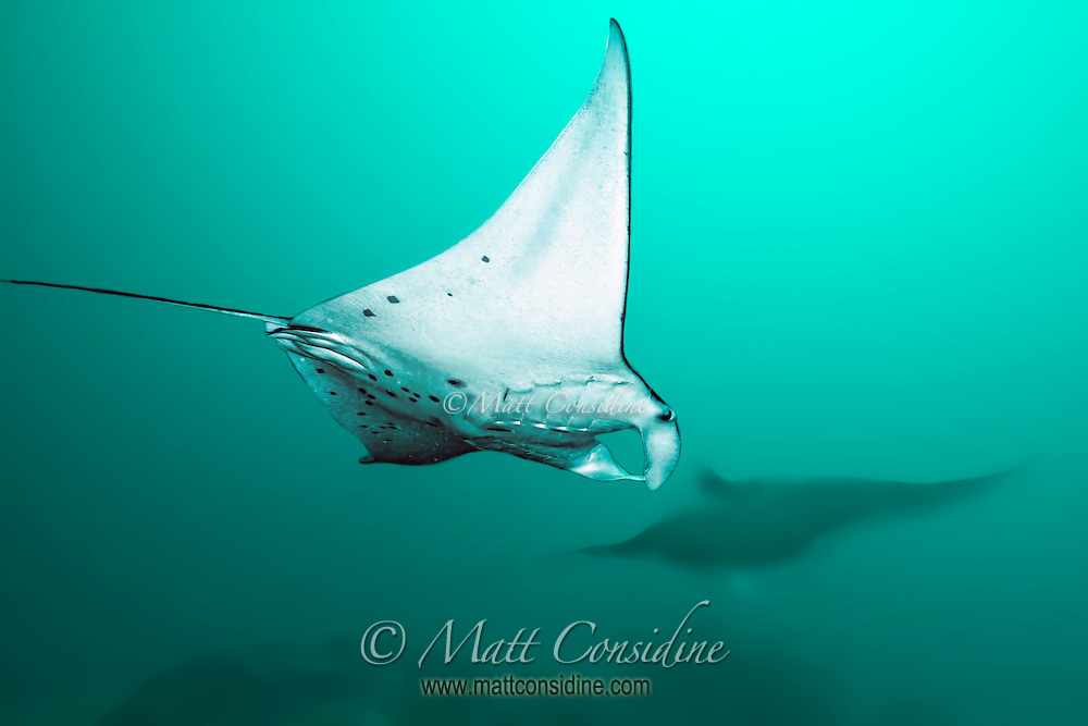 Manta Rays swoop past feeding on plankton in the water.
