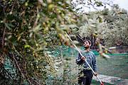 Manos harvesting Olives with a machine on the family property in Palaiochora which is a small town in Chania regional unit on the island of Crete, Greece. It is located 77 km south of Chania, on the southwest coast of Crete and occupies a small peninsula 400m wide and 700m long. The town is set along 11 km of coastline bordering the Libyan Sea. Its population was 1,675 in the 2011 census. Palaiochora's economy is based on tourism and agriculture (mainly tomatoes cultivated in glass houses and also olive oil).