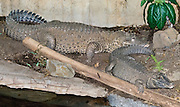 The Dwarf Crocodile (Osteolaemus tetraspis), an endangered species found in West Africa, rarely attacks humans. Photographed in the Woodland Park Zoo, Seattle, Washington, USA.