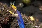 ribbon eel or ribbon moray, Rhinomuraena quaesita, male - blue color phase, Tulamben Bay, Bali, Indonesia
