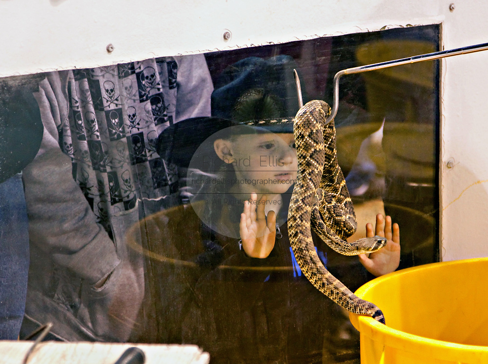 A young boy looks through the glass at a western diamondback rattlesnake during the 51st Annual Sweetwater Texas Rattlesnake Round-Up March 14, 2009 in Sweetwater, Texas. During the three-day event approximately 240,000 pounds of rattlesnake will be collected, milked and served to support charity.