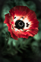 A perfect lone Poppy.