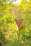 A young male lion looks into camera surrounded by bushes. Photographed in profile in Klaserie, South Africa.