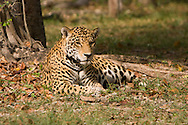 Panthera onca (Jaguar): Mammalia: Carnivora: Felidae<br /> Mexico: Quintana Roo<br /> Parque Xcaret in Cancun<br /> 29.April.2008<br /> J.C. Abbott
