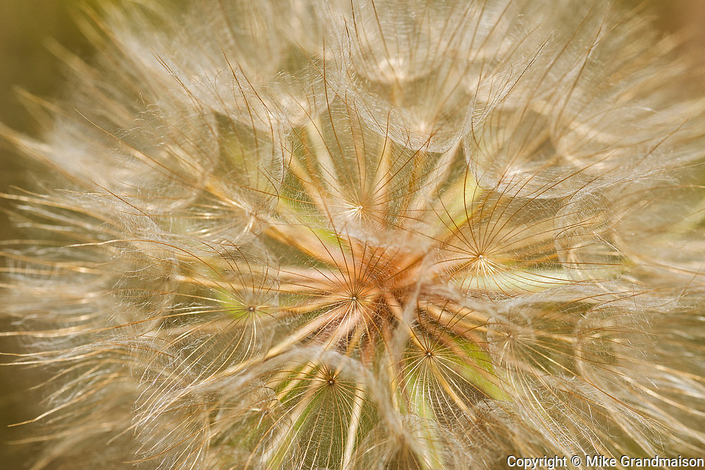 Goat's-beard flower (Tragopogon pratensis) on Gaudry's Road<br />