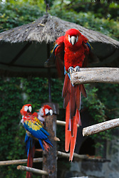 Scarlet Macaws (Ara macao) at the hotel Casa Santa Domingo, Antigua, Guatemala