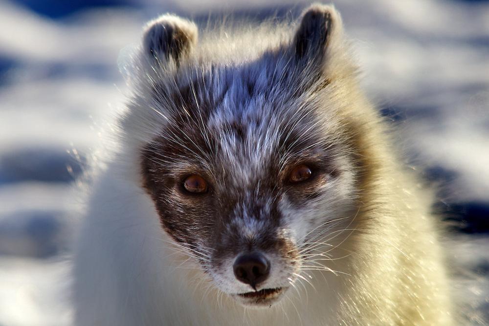 Áritco. Islas Svalbards.Zorro Ártico..© JOAN COSTA