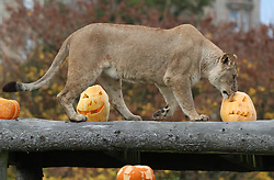 A lion looks at carved pumpkins at Blair Drummond Safari Park. The pumpkins carved by design students from nearby Forth Valley College and have been filled with enrichments.