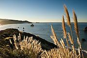 Pampas grass (Cortaderia sp.) on the Sonoma County coast, California
