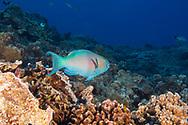 Bullethead Parrotfish, Chlorurus spilurus, Supermale, Lanai, (Valenciennes, 1840), Hawaii