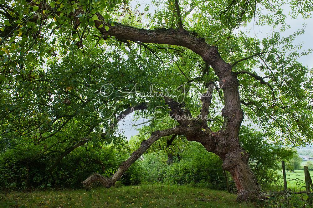 Populus nigra (Black poplar) tree near Shurdington, Gloucestershire, England