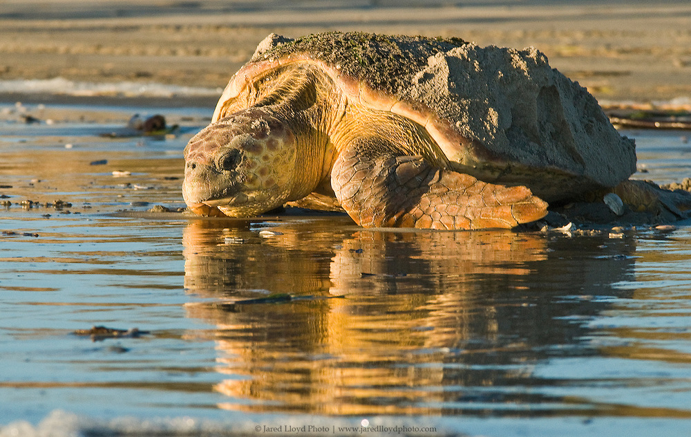 an old female loggerhead sea turtle crawling back into the Atlantic Ocean after laying her eggs in the sand on the Outer Banks of North Carolina