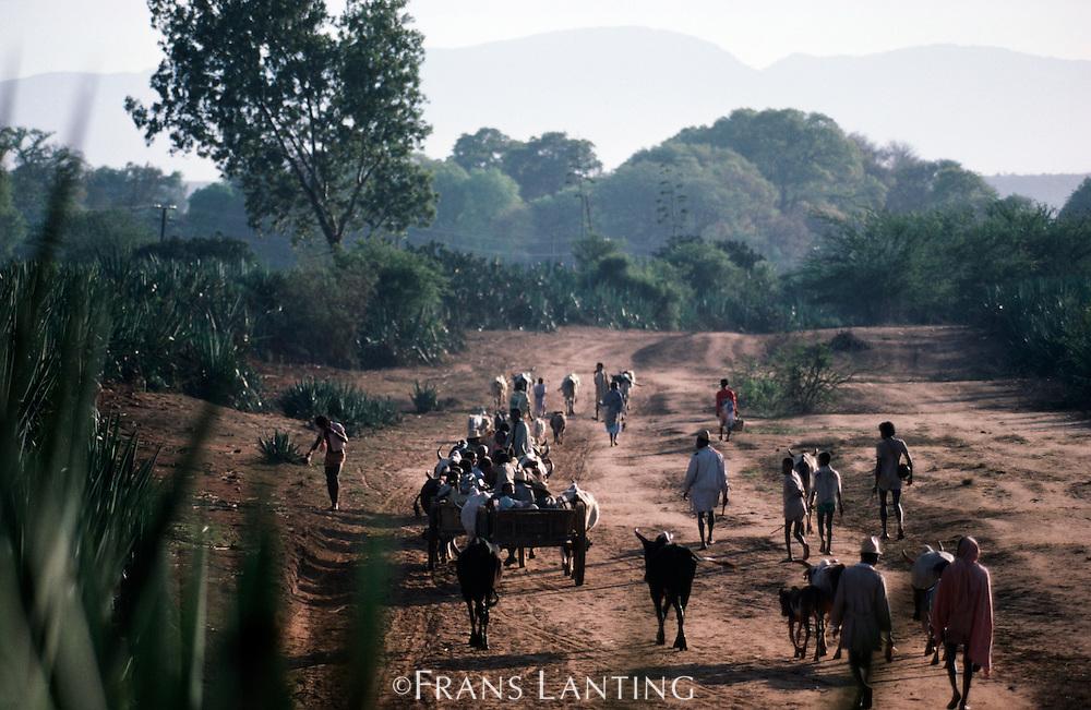 Antandroy leading cattle to market, Amboasary, Madagascar