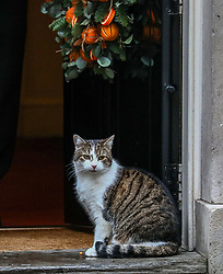 © Licensed to London News Pictures. 17/12/2019. London, UK. Larry the Downing Street cat looks relaxed as ministers attend the first cabinet meeting after the election. Photo credit: Alex Lentati/LNP