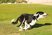 Playful border collie running in a park