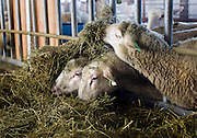 WESTBY, WI — DECEMBER 9: Adult sheep eat from piles of alfalfa at the primary barn building at the Hidden Springs Creamery. The flock of sheep at Hidden Springs has grown from fifty to over 500.