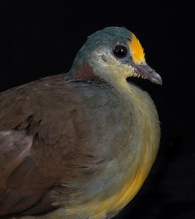 Sulawesi Ground Dove, (Gallicolumba tristigmata), captive, credit: Pandemonium Aviaries/M.D.Kern
