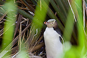 Yellow-eyed Penguin sitting on nest, nicely framed by blades of grass, Catlins, New Zealand