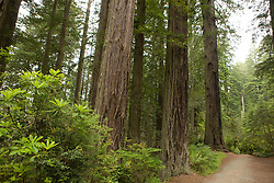 Redwood trees along a trail in Lady Bird Johnson Grove, Redwood National Park, California, USA.
