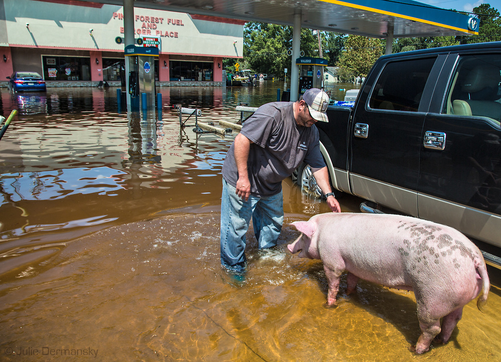 Pig being rescued as people evacute from Vidor, Texas on Sept. 1, 2017 days after Hurricane Harvey first made landfall in Texas. The water in Vidor conintued to rise as water from a damn near by was released.
